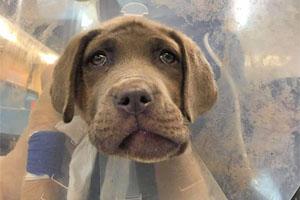 Mastiff Baby With Broken Jaw Needs Help